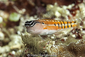 Clown blenny